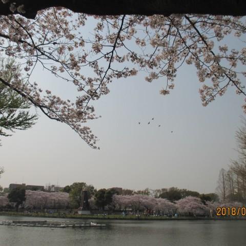 浮間公園桜